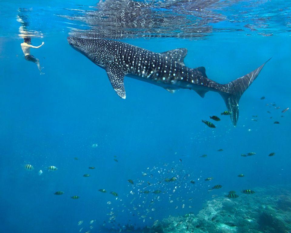 Philippinen: Walhaie sind Planktonesser. Sie halten sich nur für wenige Wochen oder Monate in guten Futtergründen auf, und ziehen dann weiter