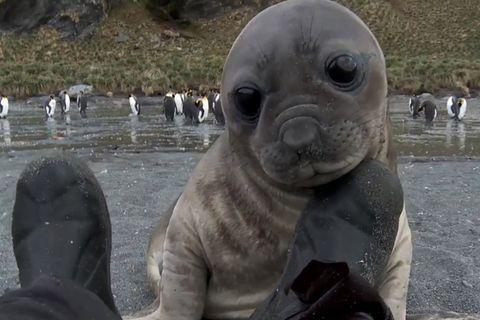 Südgeorgien: Diese Seeelefanten-Attacke ist ziemlich niedlich