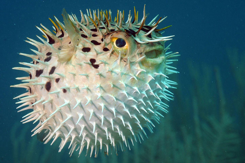 Tierlexikon: Im Normalzustand ist der Körper eines Igelfisches eher eckig als rund. Seine Stacheln liegen am Körper an. Bei Gefahr verwandelt er sich in ein schwimmendes Nadelkissen