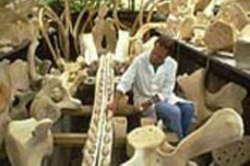 Wal-Skelett: Ein tierisches Puzzle