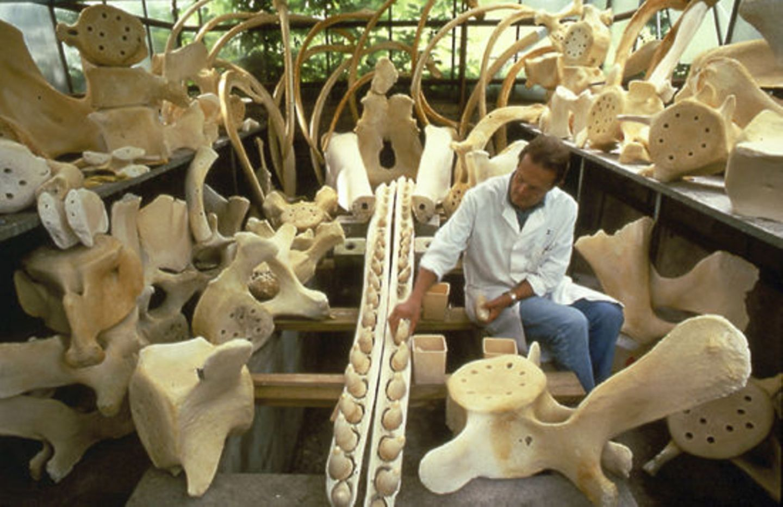 Wal-Skelett: Ein tierisches Puzzle - Bild 11