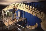 Wal-Skelett: Ein tierisches Puzzle - Bild 15
