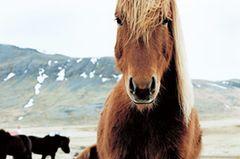 Fotoshow: Islandpferde - Bild 2
