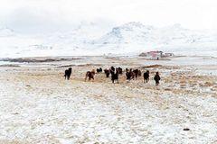 Fotoshow: Islandpferde - Bild 3
