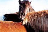 Fotoshow: Islandpferde - Bild 5