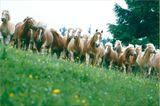 Fotoshow: Haflinger