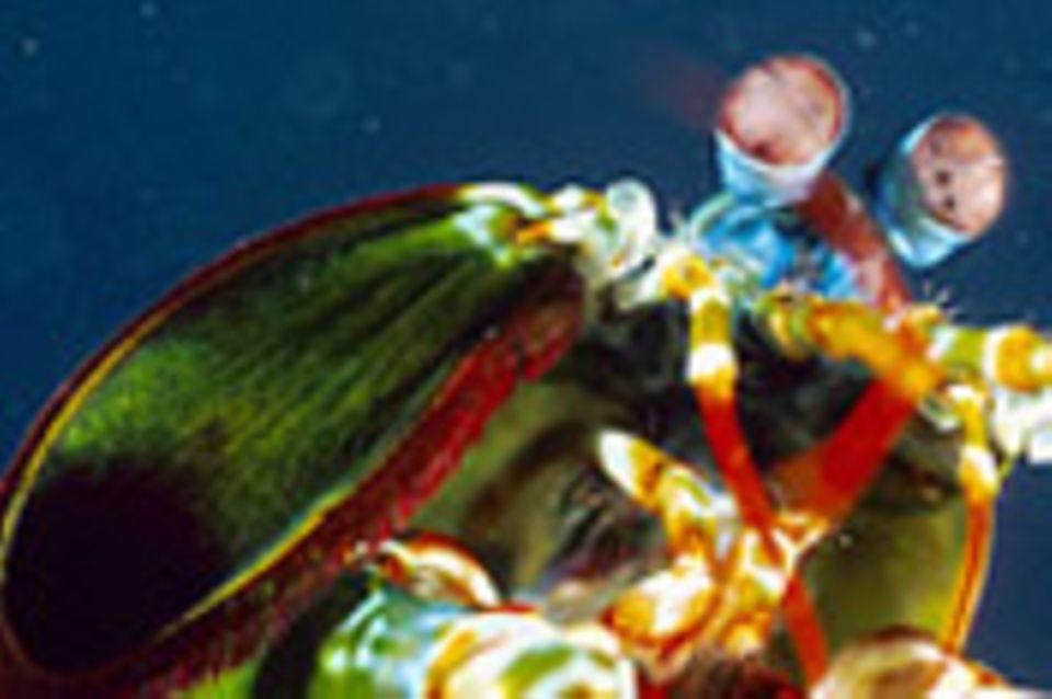 Tierfotograf Solvin Zankl: Fangschreckenkrebse, Scheinhummer & Co.