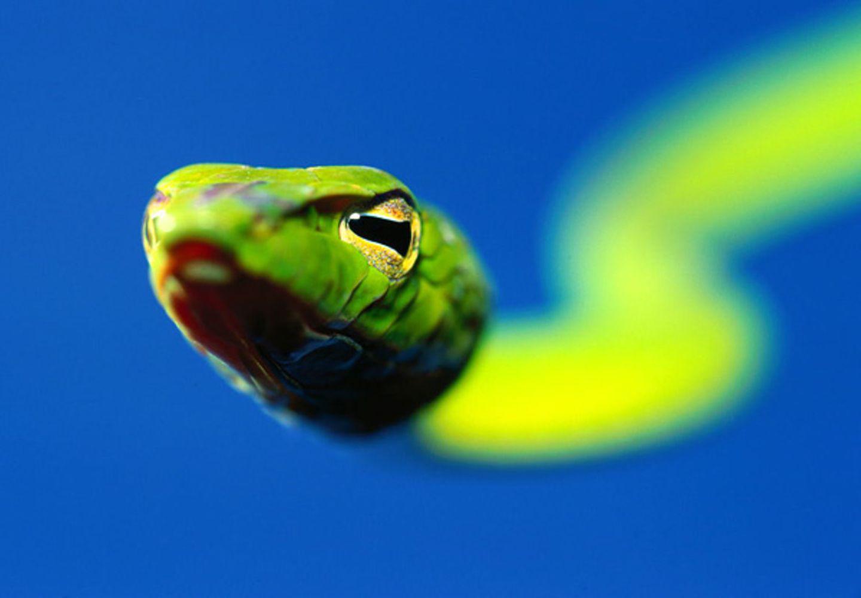 Peitschenschlange