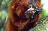 Löwenäffchen