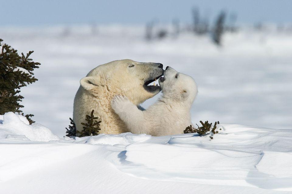 Eisbären: Familienglück im Schnee