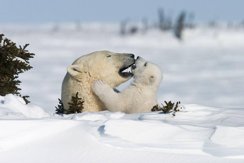 Kinderstube der Eisbären