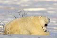 Die lange Reise der Eisbären