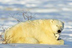 Die lange Reise der Eisbären - Bild 2