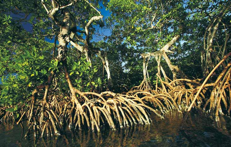Mit ihren Stelzen stützen sich die Roten Mangroven im tieferen Wasser ab