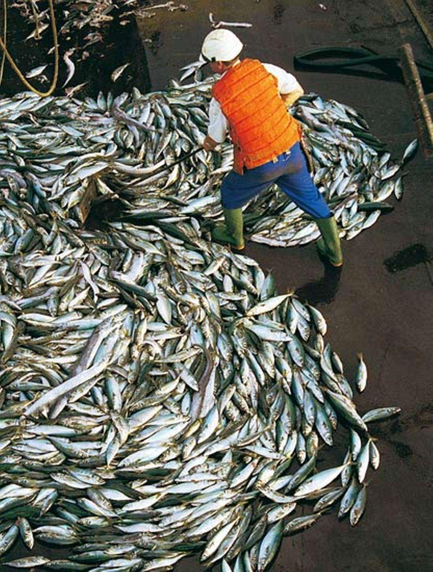 Welchen Fisch darf man noch essen? - Bild 2