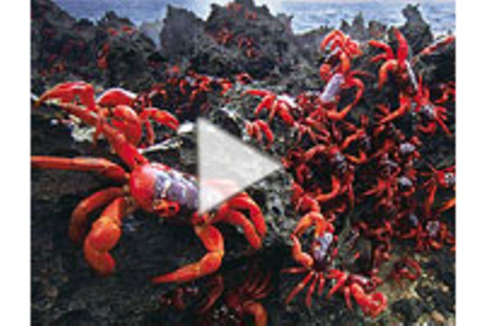 GEO TV: Der Marathon der Krabben