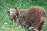 Fotoshow: Unterschlupf für Braunbären - Bild 9