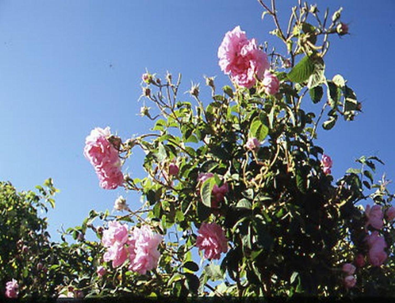 Oman - Die Rosen der Wüste