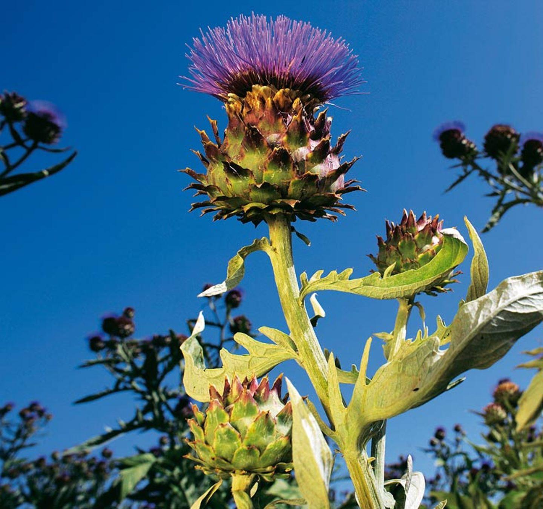 Heilpflanzen: Zurück zur Natur - Bild 3