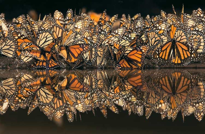 Der gefahrvolle Trek der Monarchfalter