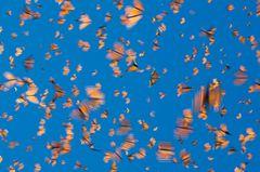 Der gefahrvolle Trek der Monarchfalter - Bild 2