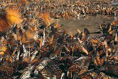 Der gefahrvolle Trek der Monarchfalter - Bild 3