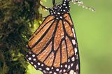 Der gefahrvolle Trek der Monarchfalter - Bild 5