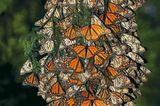 Der gefahrvolle Trek der Monarchfalter - Bild 6