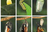 Der gefahrvolle Trek der Monarchfalter - Bild 7