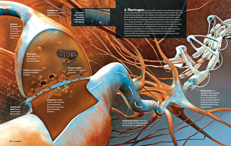 Das Gehirn: Sinne, Nerven, Muskeln - Bild 4