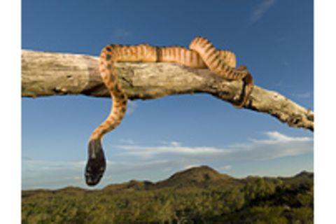 Fotogalerie: Australiens Schlangen