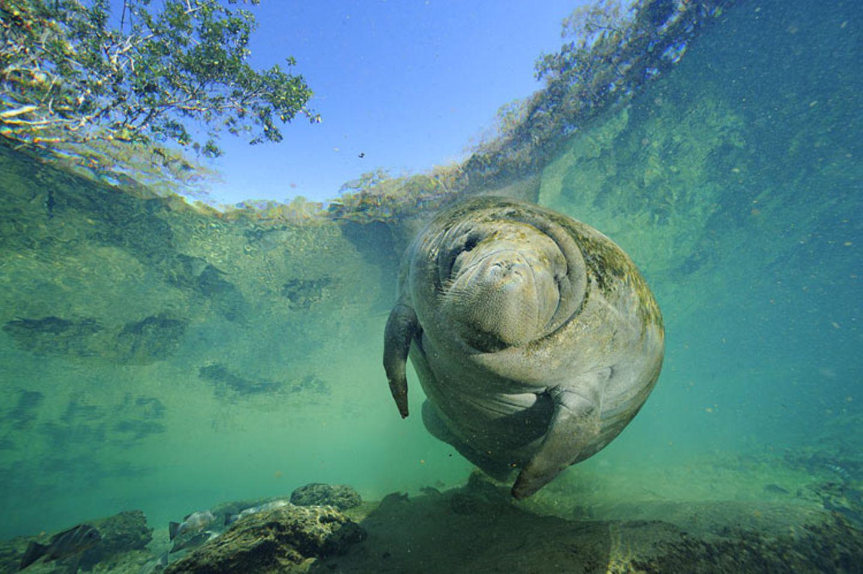 Fotoshow: Florida-Seekühe