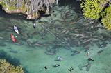 Fotoshow: Florida-Seekühe - Bild 2