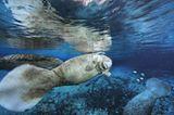 Fotoshow: Florida-Seekühe - Bild 11