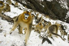 Tierfotografie: Goldstumpfnasen