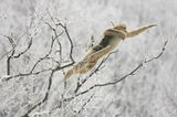 Tierfotografie: Goldstumpfnasen - Bild 4