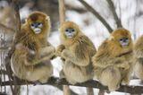 Tierfotografie: Goldstumpfnasen - Bild 5