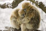 Tierfotografie: Goldstumpfnasen - Bild 7