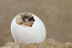 Schlüpfende Breitrandschildkröte