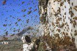 Bienensterben: Ausflug ohne Wiederkehr - Bild 6