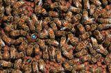 Bienensterben: Ausflug ohne Wiederkehr - Bild 7