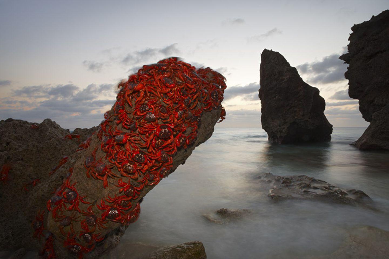 Rote Landkrabben