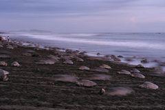 Eiablage am Strand von Ostional