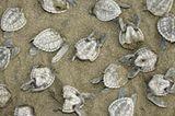 Tote Jungschildkröten