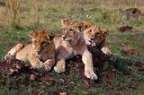 Löwenbabies in der Masai Mara, Kenia