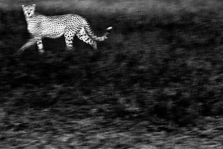 Geisterhafter Gepard