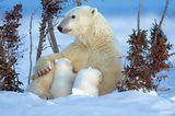 Fotostrecke Eisbären: Familienglück im Schnee - Bild 2