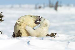 Fotostrecke Eisbären: Familienglück im Schnee - Bild 3