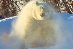 Fotostrecke Eisbären: Familienglück im Schnee - Bild 4