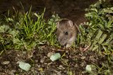 Rattenausrottung: Aktion Tod + Leben - Bild 13